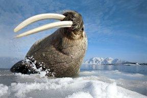 DeadlyWalrus